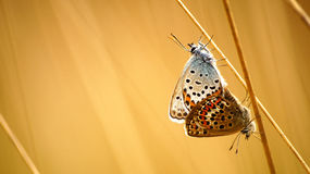 Plebejus argus - copula Royalty Free Stock Photo