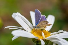 Plebejus argus, Silver Studded Blue Butterfly feeding on wild fl. Plebejus argus, Silver Studded Blue butterfly collecting nectar from wild flower with a green royalty free stock photo