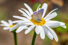 Plebejus argus, Silver Studded Blue Butterfly feeding on wild fl Stock Image