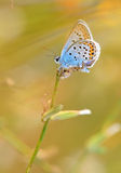 Plebejus argyrognomon Royalty Free Stock Images