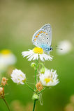 Plebejus idas, Idas蓝色,是在家庭灰蝶科的一只蝴蝶 美丽的蝴蝶坐花 免版税图库摄影