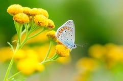 Plebejus idas, Idas蓝色,是在家庭灰蝶科的一只蝴蝶 美丽的蝴蝶坐花 库存照片