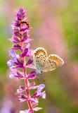 Plebejus idas, Idas蓝色,是在家庭灰蝶科的一只蝴蝶 美丽的蝴蝶坐花 库存图片