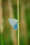 Plebejus idas, Idas蓝色,是在家庭灰蝶科的一只蝴蝶 美丽的蝴蝶坐花 免版税库存图片