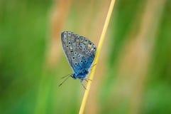 Plebejus idas, Idas蓝色,是在家庭灰蝶科的一只蝴蝶 美丽的蝴蝶坐草叶 免版税库存照片