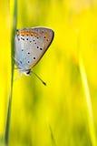 plebejus idas πεταλούδων Στοκ φωτογραφίες με δικαίωμα ελεύθερης χρήσης