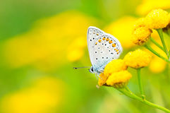 Plebejus idas, Idas Blue, is a butterfly in the family Lycaenidae. Beautiful butterfly sitting on flower. Stock Photo