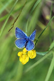 Plebicula amanda (butterfly) Royalty Free Stock Photography