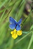 Plebicula Amanda (farfalla) Fotografia Stock Libera da Diritti