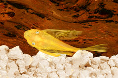 Pleco鲶鱼蓝眼睛bushybose pleco金子Ancistrus dolichopterus Plecostomus 免版税库存照片