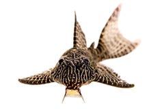 Pleco鲶鱼L-260女王蔓藤花纹Hypostomus sp Plecostomus水族馆鱼 图库摄影
