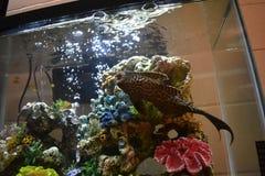 Pleco σε μια δεξαμενή ψαριών Στοκ φωτογραφίες με δικαίωμα ελεύθερης χρήσης