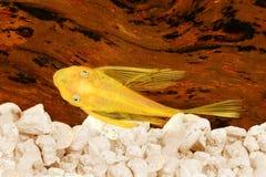 Pleco catfish blue eye bushybose pleco gold Ancistrus dolichopterus Plecostomus Royalty Free Stock Photo