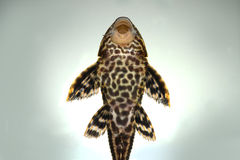 Pleco Catfish Plecostumus fish Royalty Free Stock Images