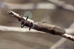 plecoptera Royaltyfria Bilder