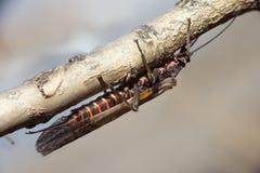 plecoptera Στοκ Εικόνες