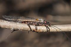 Plecoptera Στοκ Εικόνα