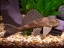 Plecostomus photo libre de droits
