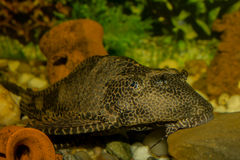Plecostomus Stockfoto