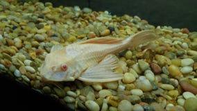 Plecostomus havskatt i en fiskbehållare Fotografering för Bildbyråer
