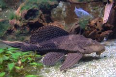 Pterygoplichthys pardalis catfish Royalty Free Stock Photos