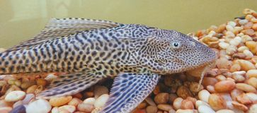Plecostomus Royalty Free Stock Photography