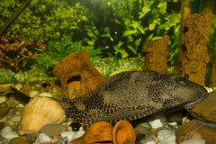 Plecostomus Royalty Free Stock Photos