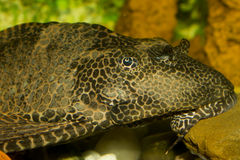 Plecostomus Stock Photos