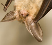 Plecotus auritus. Flying Mouse - protected, rare, useful Stock Photo