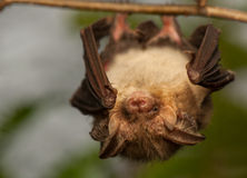 Plecotus auritus. Bat - a useful animal protection Stock Image
