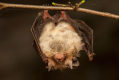 Plecotus auritus. Bat - a useful animal protection Royalty Free Stock Photo