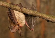 Plecotus auritus. Bat - a useful animal protection Royalty Free Stock Photos