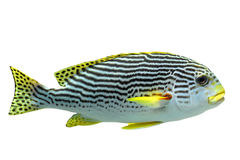 Plectorhinchus lineatus Royalty Free Stock Image
