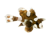plectorhynchus κλόουν chae harlequin sweetlips Στοκ εικόνες με δικαίωμα ελεύθερης χρήσης