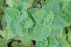 Plectranthus amboinicus或锦紫苏草本Amboinicus的叶子 免版税库存照片