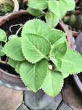 Plectranthus amboinicus or Mexican mint or Tiger`s ear plant. stock photography