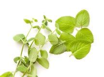Plectranthus argentatus Srebny spurflower Obrazy Royalty Free