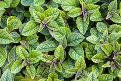 Plectranthus forsteri Stock Photo