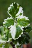Plectranthus madagascariensis. lemon twist Royalty Free Stock Photo