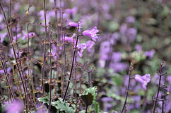 Plectranthus Mona Lavender flowers Royalty Free Stock Images