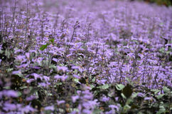 Plectranthus Mona Lavender flowers Royalty Free Stock Image