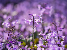 Plectranthus Mona Lavender flowers on the nature Royalty Free Stock Photo