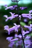 Plectranthus púrpura Fotos de archivo