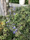Plectranthus scutellarioides ή Coleus λουλούδι Στοκ Εικόνες