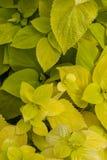 Plectranthus scutellarioides, εξόρμηση λεμονιών, συμπαγής χαμηλή ποικιλία ανάπτυξης με τα χρυσά πράσινα ευρέα φύλλα Στοκ Εικόνα