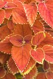 Plectranthus scutellarioides, χειμερινός ήλιος, συμπαγής χαμηλή ποικιλία ανάπτυξης Στοκ Εικόνα