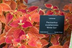Plectranthus scutellarioides, χειμερινός ήλιος, συμπαγής χαμηλή ποικιλία ανάπτυξης Στοκ φωτογραφία με δικαίωμα ελεύθερης χρήσης