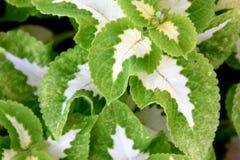 Plectranthus scutellarioides & x27; 巫术师Jade& x27; 免版税库存图片