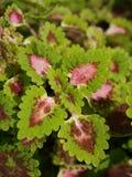 Plectranthus scutellarioides Στοκ εικόνες με δικαίωμα ελεύθερης χρήσης