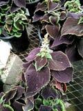 Plectranthus scutellarioides ` Balcovino `, Vino Coleus zdjęcia stock